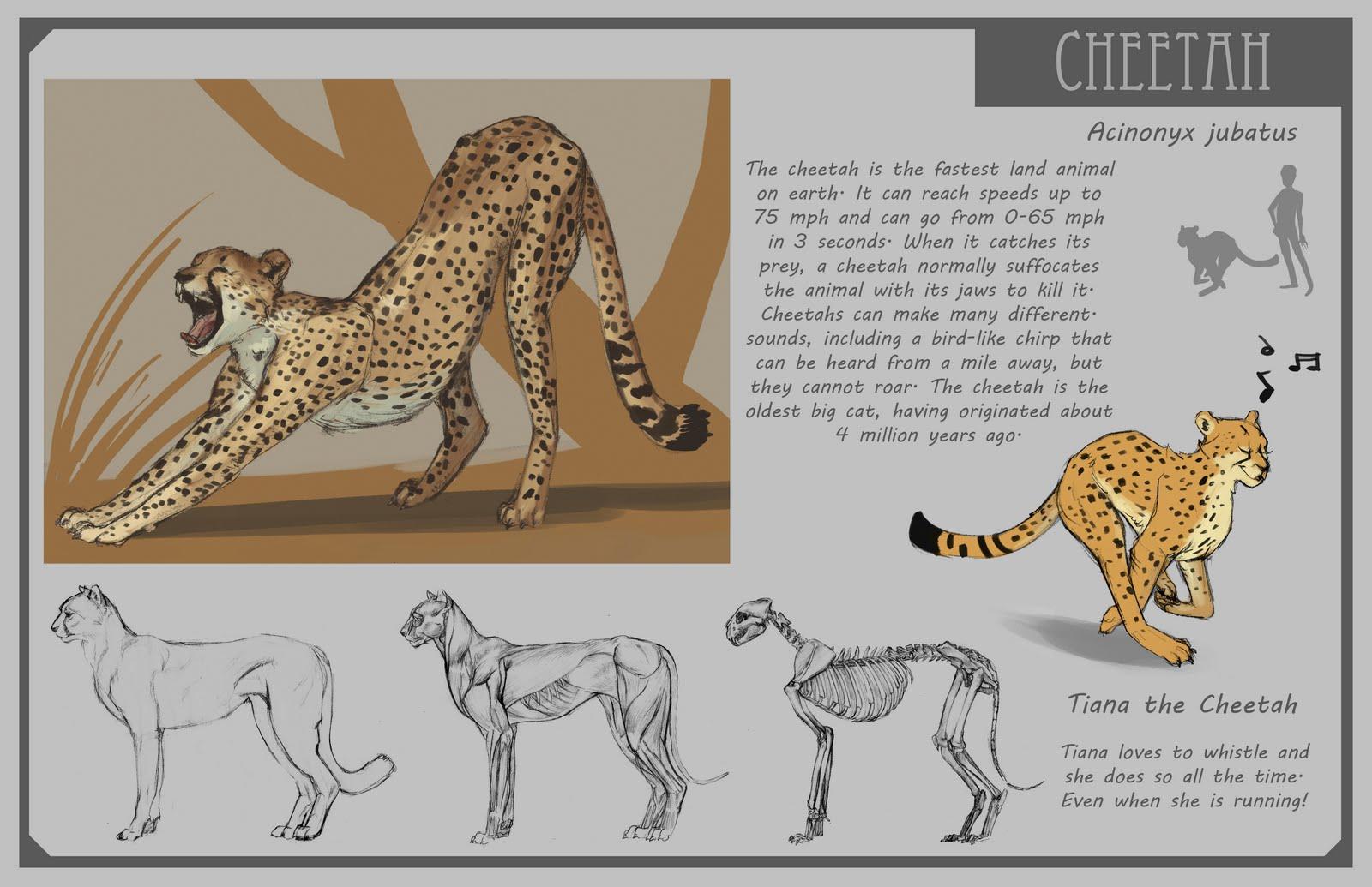 cheetah anatomy diagram chevy s10 radio wiring 4194678 the mountain lion venn faith