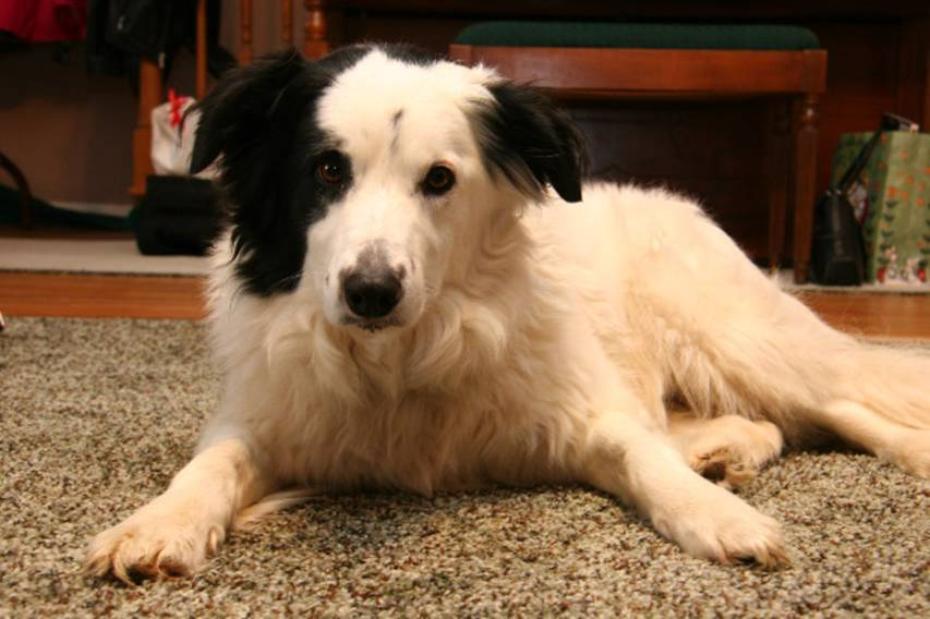 Deaf Animals: Louisville, KY: Border Collie Mix Needs a Home or Face