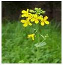 Mustard plant picture