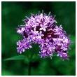 Valerian herb picture