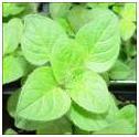 Oregano herb image
