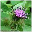 Burdock herb image