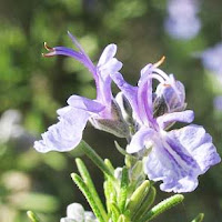 Rosemary herb photo