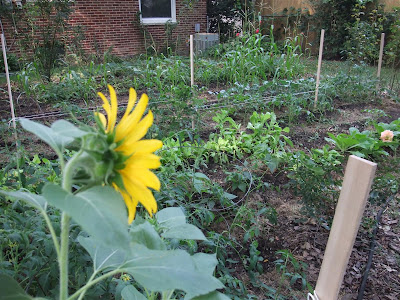 garden sunflowers and tomatoes