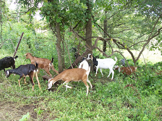 Goats - Oak Hill Homestead