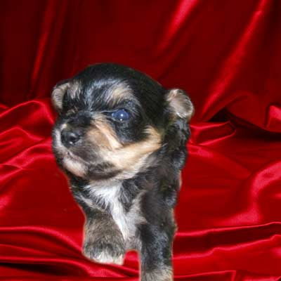 Nothing But Puppy Pictures!: Black and brown puppy picture