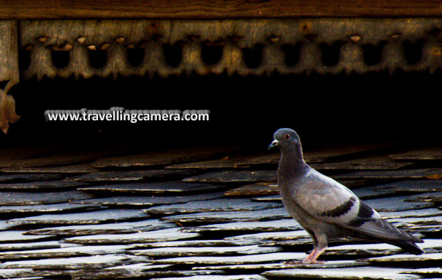 Pigeons in my Courtyard: Posted by VJ: Recently I have been to a village called 'Chauntra', in Hamirpur District of Himachal Pradesh, which is surrounded by beautiful Pine Forests and a lovely place to spend your life. We have a very old house there and my parent visit this place frequently. I meet these pigeons everytime I go there... Here are few photographs...VJ, ripple, Vijay Kumar Sharma, ripple4photography, Frozen Moments, photographs, Photography, ripple (VJ), VJ, Ripple (VJ) Photography, VJ-Photography, Capture Present for Future, Freeze Present for Future, ripple (VJ) Photographs , VJ Photographs, Ripple (VJ) Photography