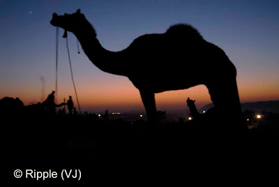 Posted by Ripple (VJ) :  Pushkar Camel Fair 2008 : Camel standing in Fair ground after Sunset @ Pushkar Camel Fair 2008: The small and beautiful town of Pushkar is set in a valley just about 14 km off Ajmer in the north Indian state of Rajasthan. Surrounded by hills on three sides and sand dunes on the other, Pushkar forms a fascinating location and a befitting backdrop for the annual religious and cattle fair which is globally famous and attracts thousands of visitors from all parts of the world.
