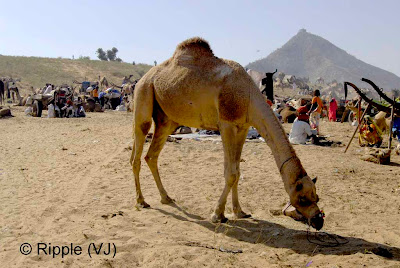 Posted by Ripple (VJ) :  Pushkar Camel Fair 2008 : Camel @ Pushkar Camel fair 2008