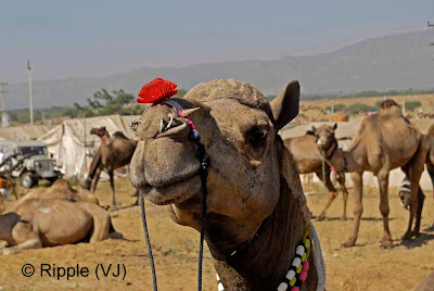 Posted by Ripple (VJ) :  Pushkar Camel Fair 2008 : Camel ready for the fair with complete Makeover @ Pushkar Camel fair 2008