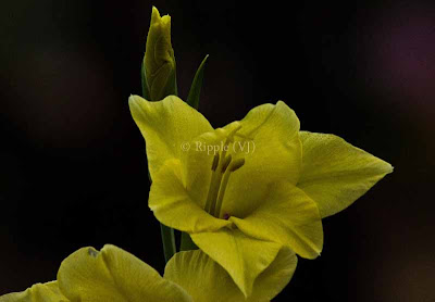 Posted by Ripple (VJ) : Corbett National Park : Yellow Flower...
