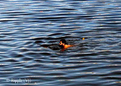 Posted by Ripple(VJ) : Glimpses of Pushkar-Ghats around Puhkar-Lake during Camel Fair-2008 (Pushkar Lake is actually surrounded by different Ghats/Temples... ):: Pundit ji doing 'Snan' in Pushkar Lake...