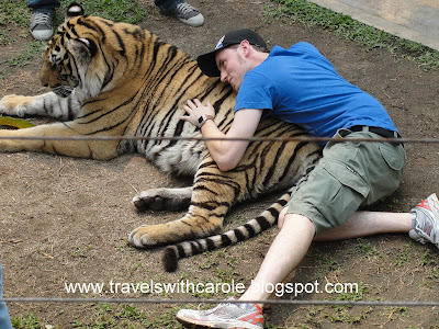 man lays with tiger at Tiger Kingdom in Chiang Mai, Thailand