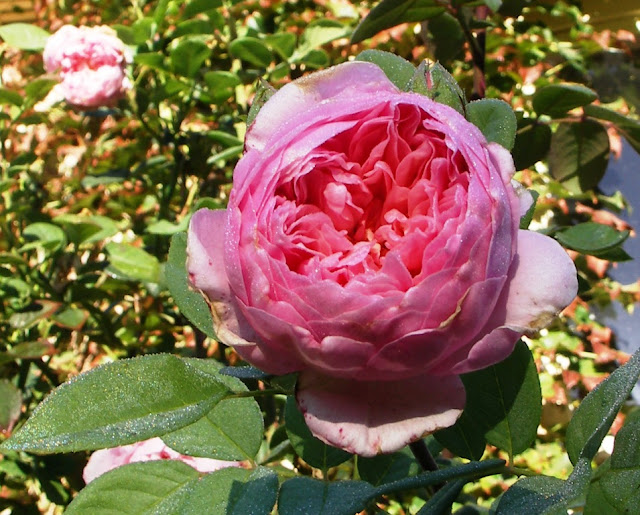 Little Augury A Rykiel Rose Is Not A Rose