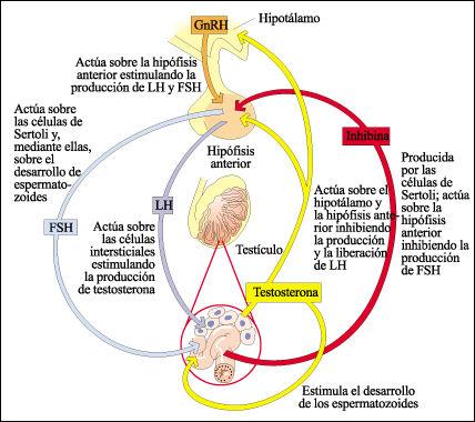 los espermatozoides pasan a través de la próstata