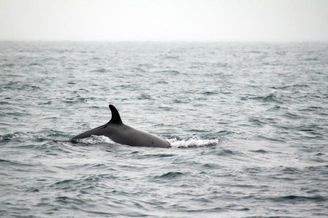 Whale watching da Husavik