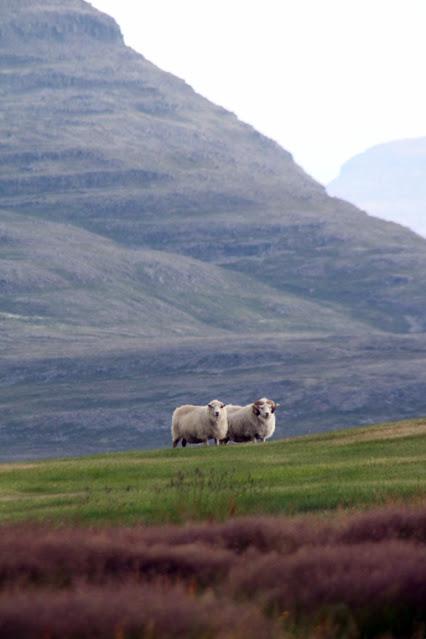 Pecore sull'Isola di Vigur