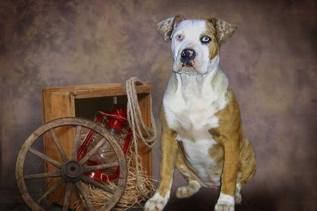 Catahoula BulldogPictures of Dogs and All About Dog