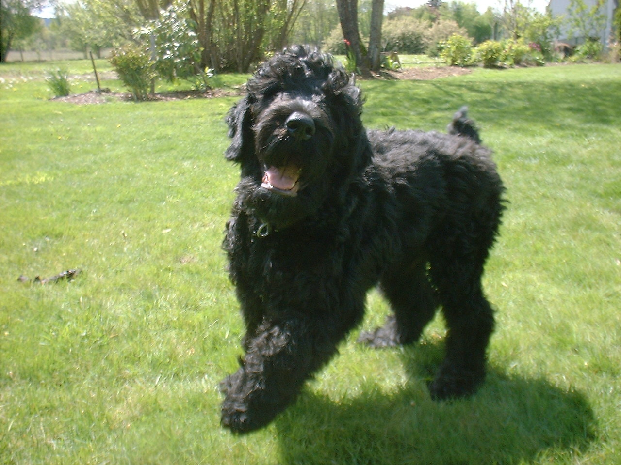The Dog and Puppies: Black Russian Terrier