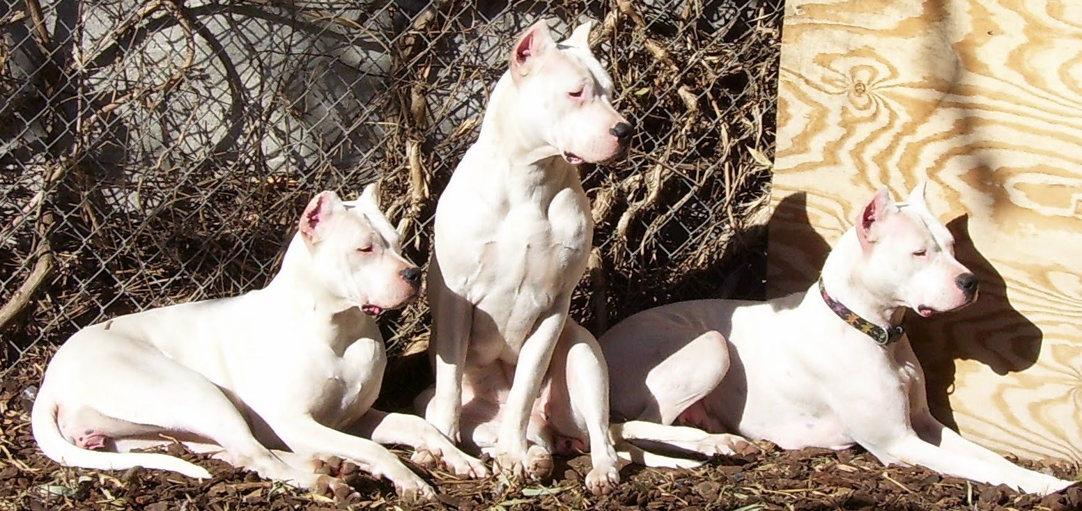 Dogo Argentino:Pictures of Dogs and All About Dog