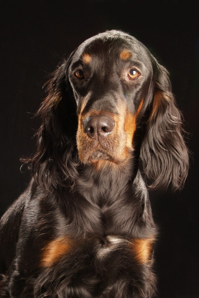 Gordon Setter:Pictures of Dogs and All About Dog