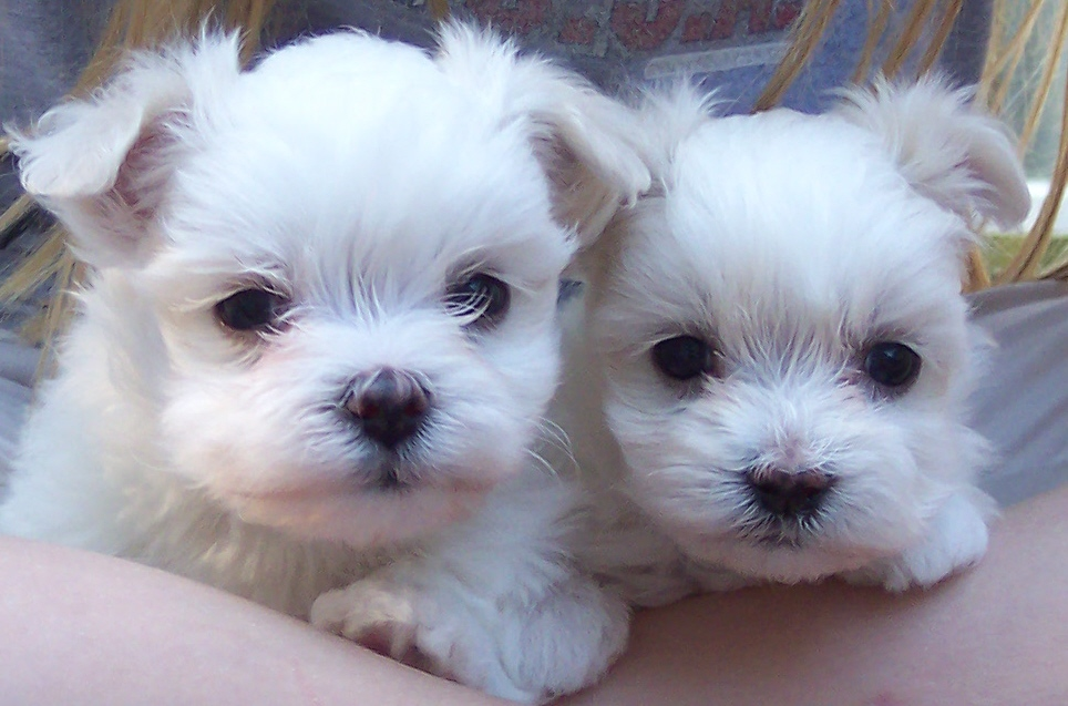 maltese puppies for sale in sc maltese pictures of dogs and all about dog 9621