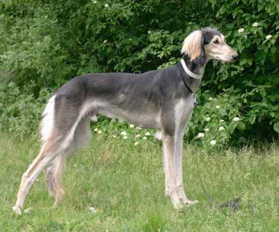 Saluki:Pictures of Dogs and All About Dog