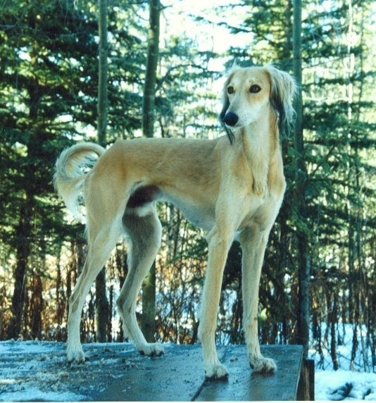 Saluki Pictures Of Dogs And All About Dog