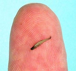 Paedocypris Progenetica (World's Smallest Fish)