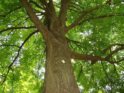 Вековно дърво в Земенски манастир