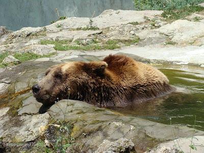 Кафява мечка в Зоосвят Варна