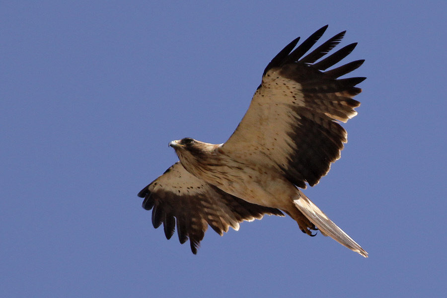 Never Mind The Finnsticks - Read The Blog!: Booted Eagle ...