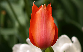 Beautiful Red Tulips Wallpaper