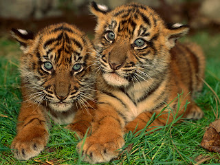 Two Cute Tiger wallpaper