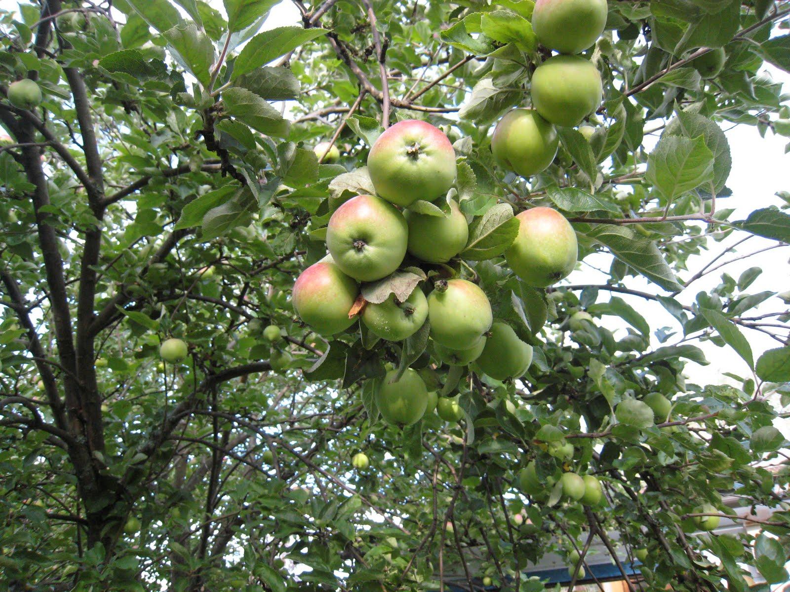 Omenapuu Siemenestä
