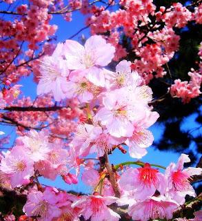 cerejeira japao