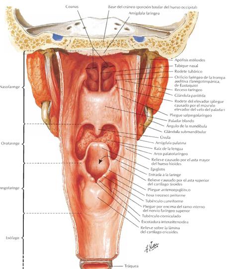 AMIGOS PARA SIEMPRE: anatomía humana