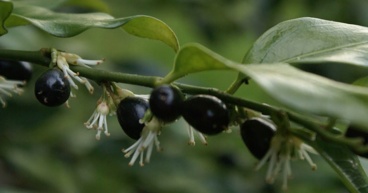 I M In The Garden Today Fragrant Sarcococca