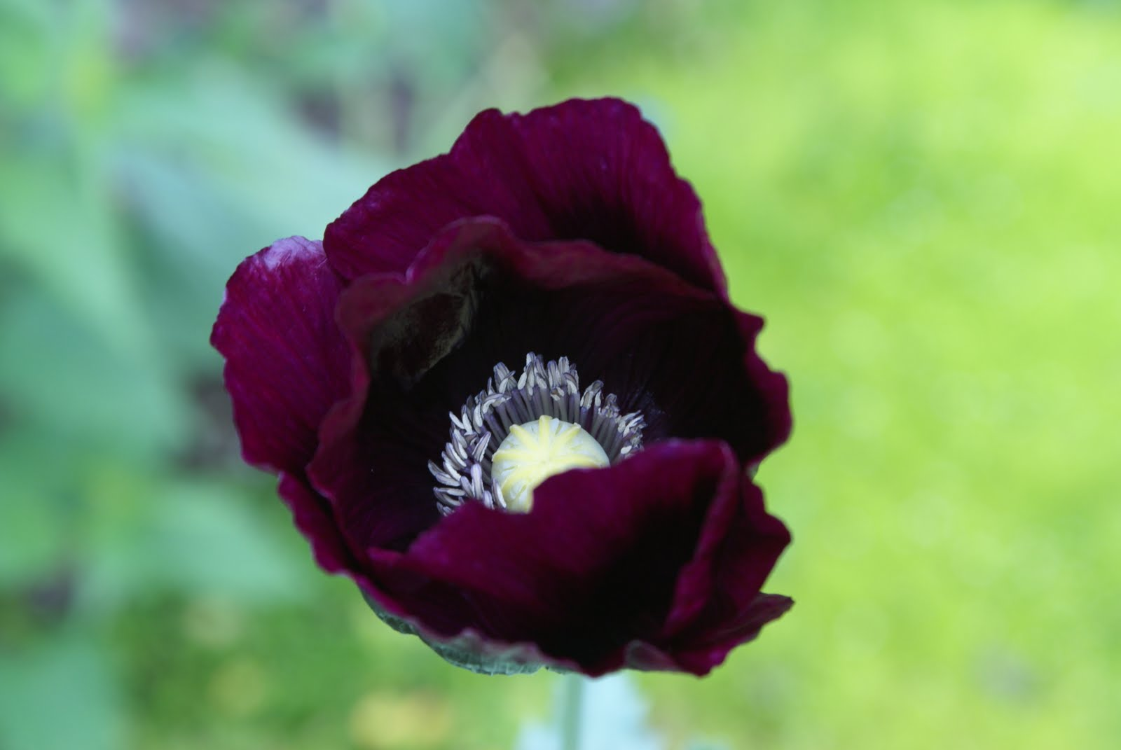 i m in the garden today pfabulous purple poppies
