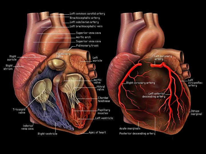 MRI BLOG: Cardiac Anatomy