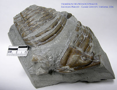 trilobite called Trimerus delphinocephalus