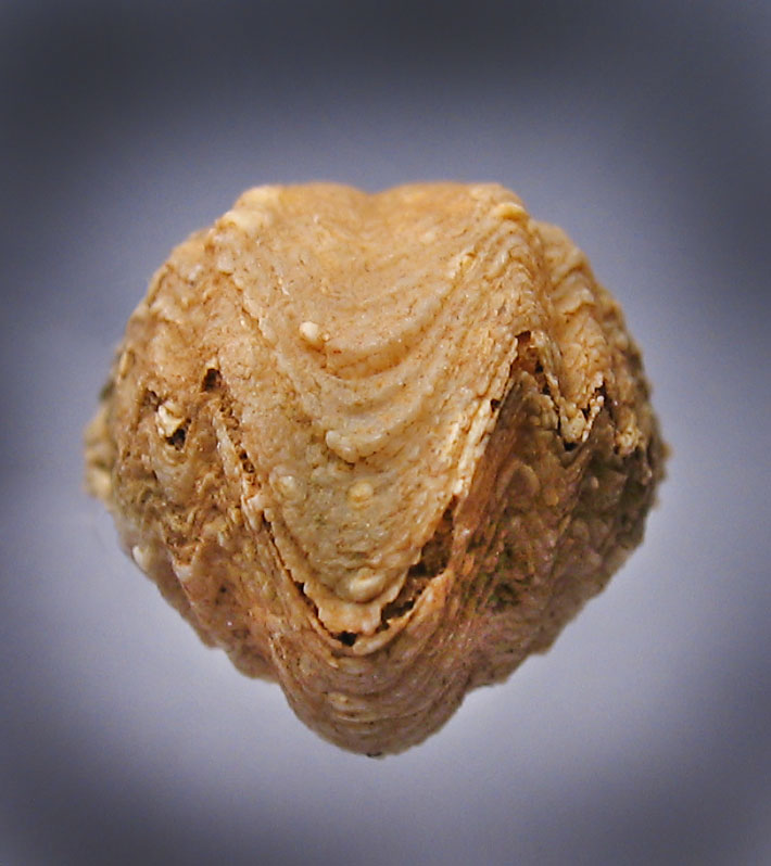 Horn Coral Fossils Ohio