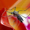 Keunikan Nyamuk, Keajaiban Nyamuk, Hal-Hal Tentang Nyamuk