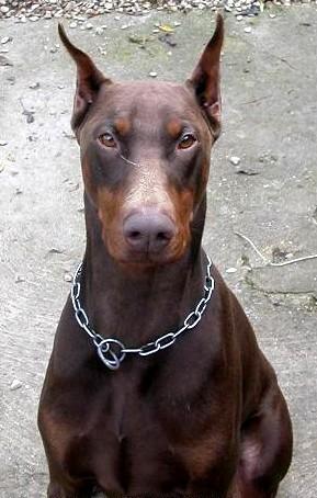 razas de perros: septi...