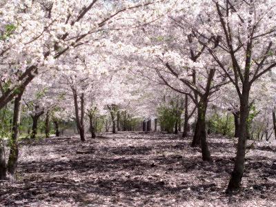 800px SakuraHealed
