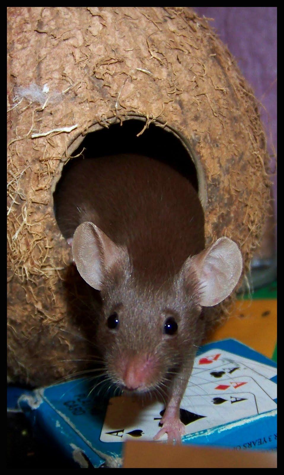 J Ai Une Souris Chez Moi murmures de pyria: des souris en vitrine