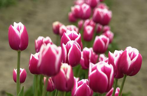 nimiwicho Gambar Bunga Tulip