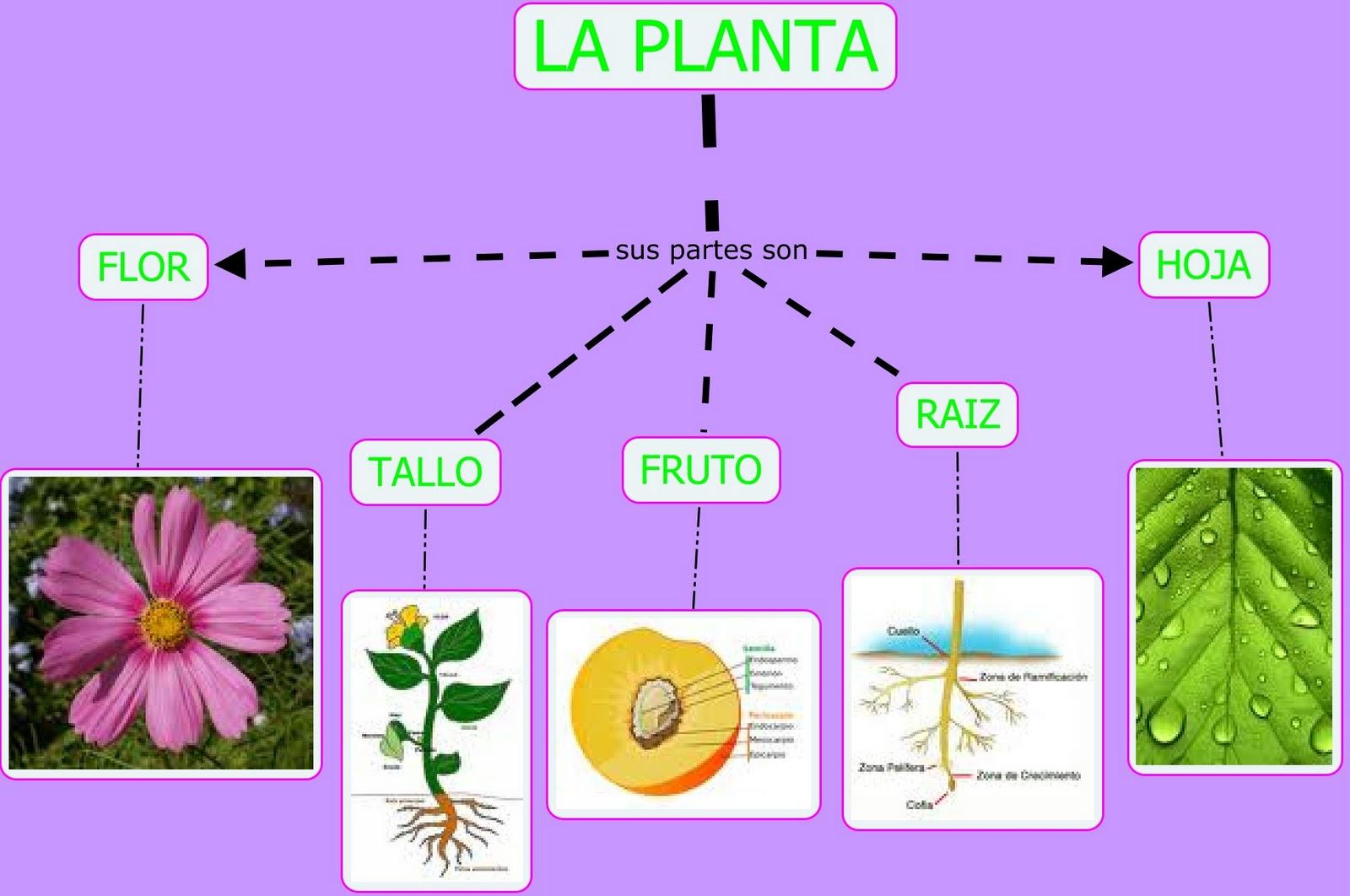 blog personal de vanessa  mi mapa conceptual de la planta