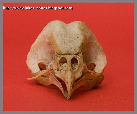 My Barn Owl Skull Jake S Bones
