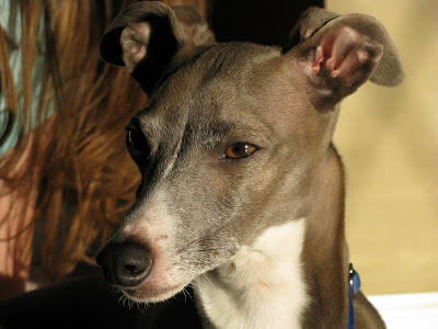 Italian-Greyhound-Head-Shot-Grey